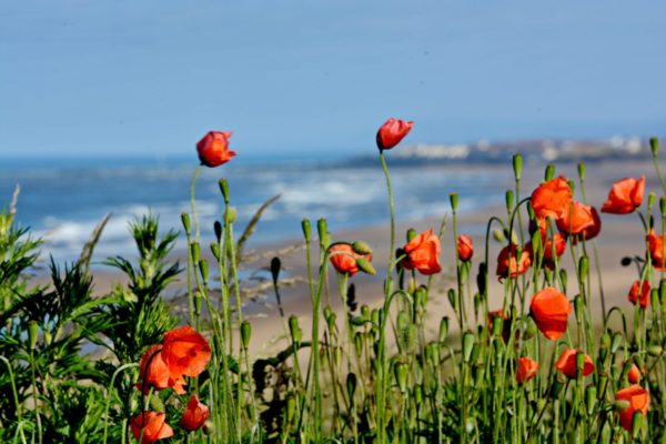 Poppies at the Seaton Carew beach